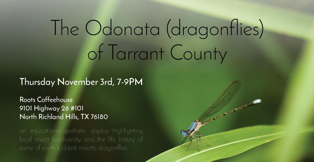 The Odonata of Tarrant County - Argia apicalis (♂)