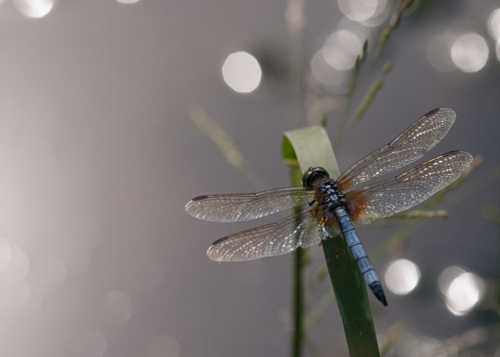 The Odonata of Tarrant County - Pachydiplax longipennis (♂)