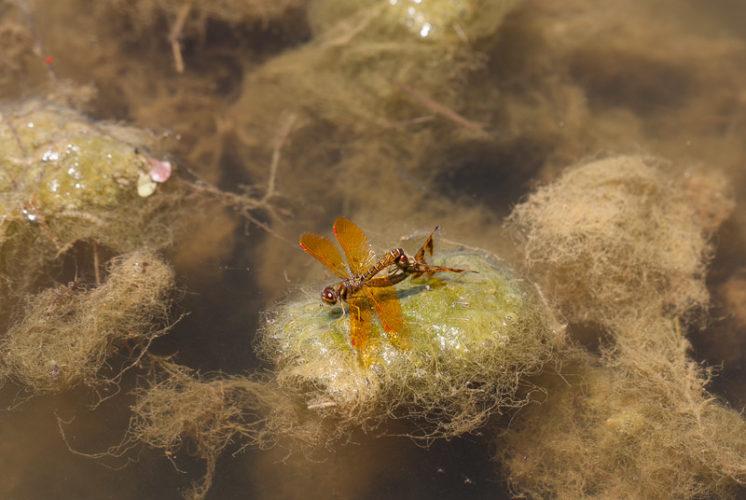 The Odonata of Tarrant County - Perithemis tenera (in copula)