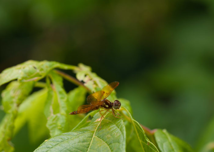 The Odonata of Tarrant County - Perithemis tenera (♂)