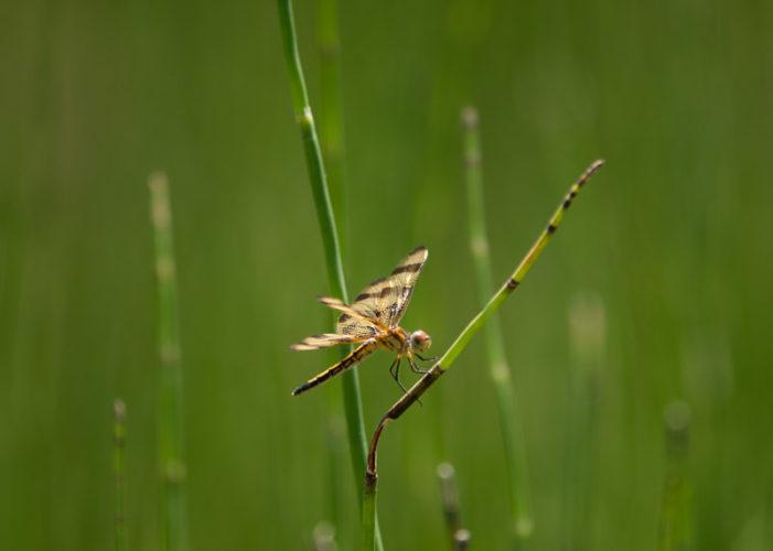 The Odonata of Tarrant County - Celithemis eponina (♀)