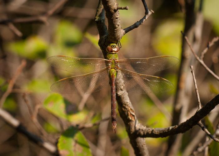 The Odonata of Tarrant County - Anax junius (♀)