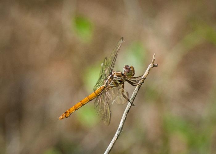 The Odonata of Tarrant County - Orthemis ferruginea (♀)