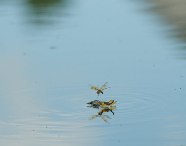 The Odonata of Tarrant County - Perithemis tenera (♀, upper) ovipositing while (♂, lower) exhibits non-contact mate-guarding
