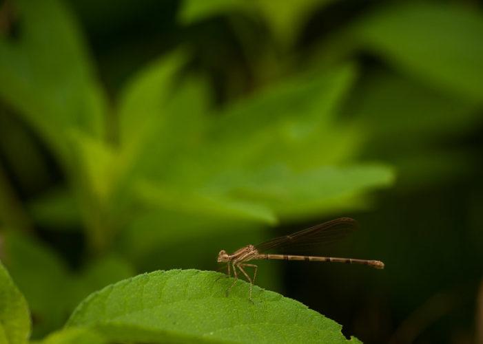 The Odonata of Tarrant County - Argia sedula (♀)