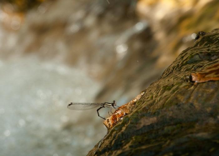 The Odonata of Tarrant County - Argia translata (♀) - ovipositing
