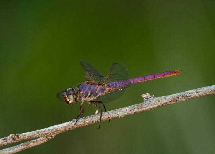 The Odonata of Tarrant County - Orthemis ferruginea (♂)