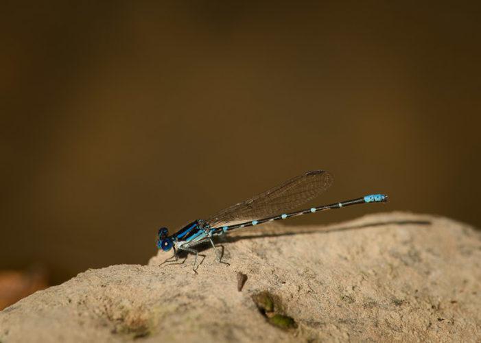 The Odonata of Tarrant County - Argia sedula (♂)