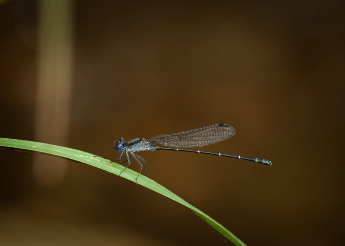 The Odonata of Tarrant County - Argia translata (♂) exhibiting ephemeral color change
