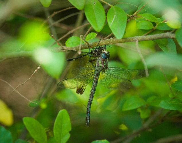 The Odonata of Tarrant County - Nasiaeschna pentacantha (♀) predating Dythemis velox (♂)