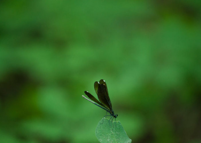 The Odonata of Tarrant County - Calopteryx maculata (♀) with mud on abdomen from oviposition