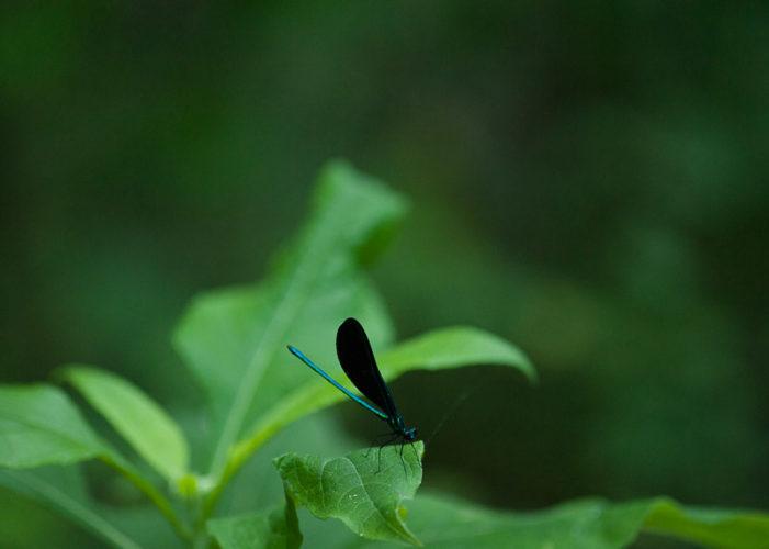 The Odonata of Tarrant County - Calopteryx maculata (♂)