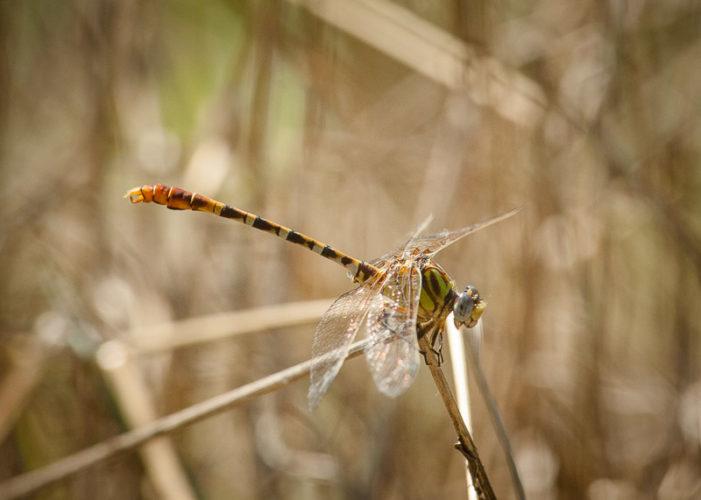 The Odonata of Tarrant County - Erpetogomphus designatus (♂)