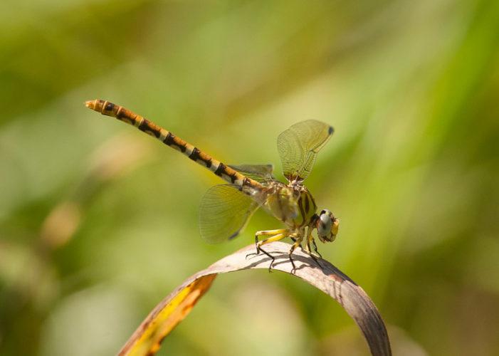 The Odonata of Tarrant County - Erpetogomphus designatus (♀)
