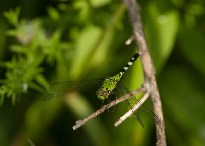The Odonata of Tarrant County - Erythemis simplicicollis (♀)