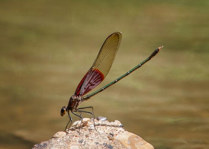 The Odonata of Tarrant County - Hetaerina americana (♂)
