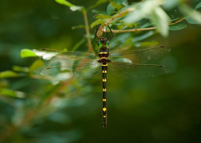 The Odonata of Tarrant County - Macromia illinoiensis (♀)