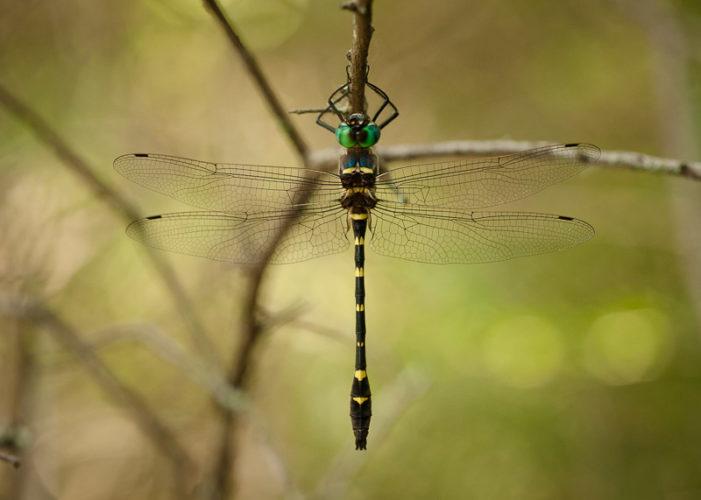 The Odonata of Tarrant County - Macromia illinoiensis (♂)