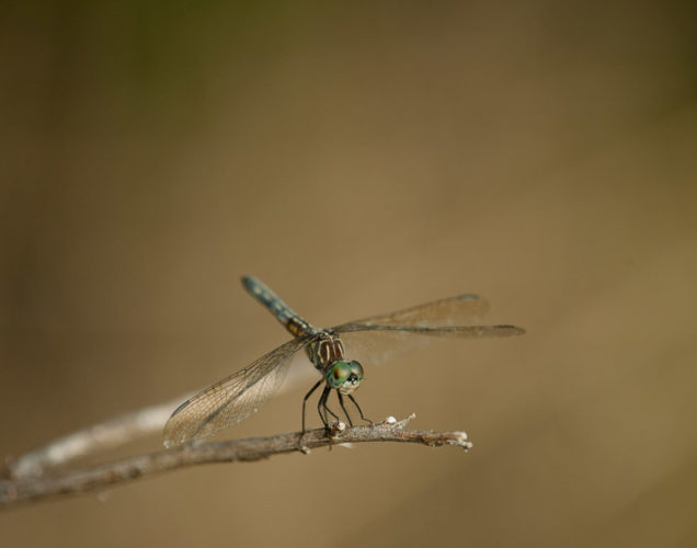 The Odonata of Tarrant County - Pachydiplax longipennis (♀)