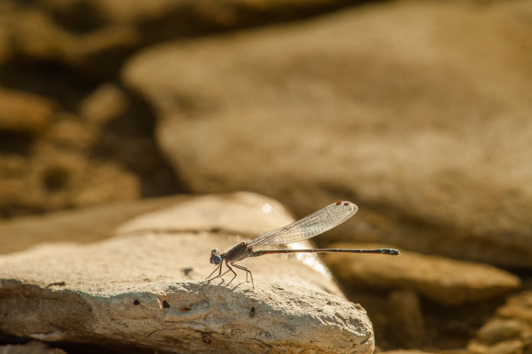 The Odonata of Tarrant County - Argia translata (♂)
