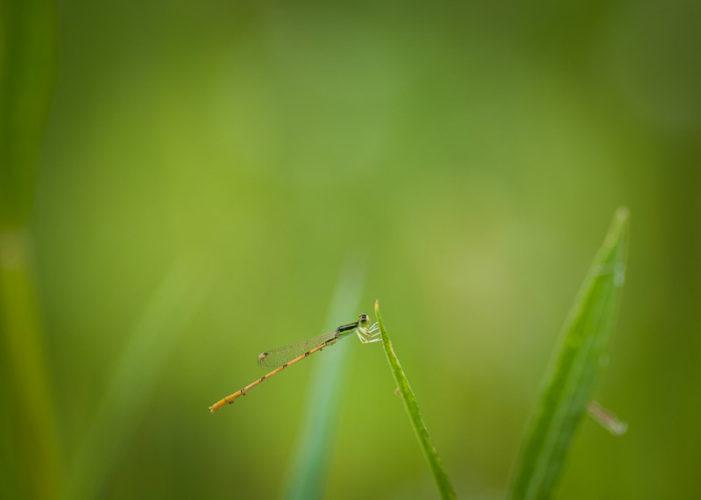 The Odonata of Tarrant County - Ischnura hastata (♂)