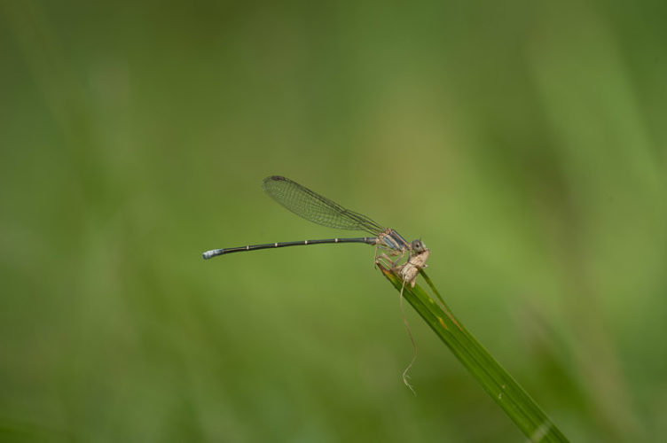 The Odonata of Tarrant County - Argia moesta (immature ♂) with prey