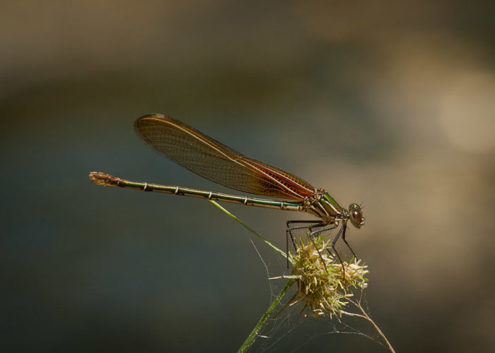The Odonata of Tarrant County - Hetaerina americana (♀)