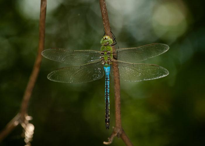 The Odonata of Tarrant County - Anax junius (♂)
