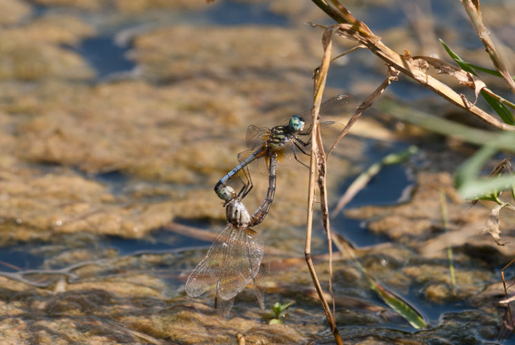 The Odonata of Tarrant County - Pachydiplax longipennis - in copula