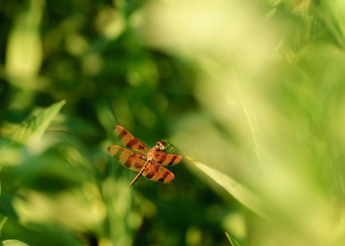 The Odonata of Tarrant County - Celithemis eponina (♂)